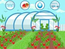 Strawberries in Greenhouse. Vector Illustration stock illustration