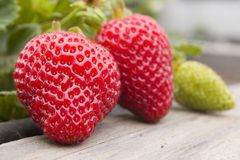 Strawberries. A grouping of strawberries, ripe and unripe, still attached to the plant Royalty Free Stock Photo