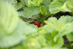 Strawberries grow in bushes. Red berry blushes in the garden. summer strawberry. Waiting for the harvest stock images