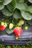 Strawberries grow in greenhouse Stock Images