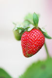 Strawberries growing branch Royalty Free Stock Image