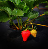 Strawberries growing Commercially Royalty Free Stock Image