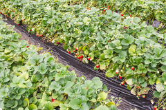 Strawberries growing in green house Royalty Free Stock Photos