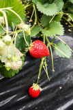 Strawberries growing in green house Stock Image