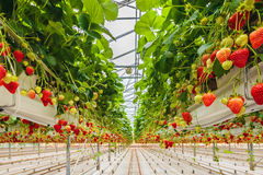 Strawberries growing in a greenhouse Royalty Free Stock Photos