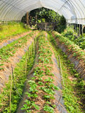 Strawberries. Growing strawberries. Pick your own farm Royalty Free Stock Images