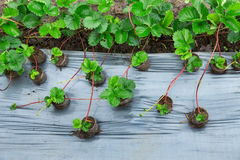 Strawberries growing Stock Image