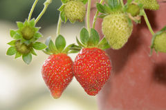 Strawberries Growing In A Pot Royalty Free Stock Photography