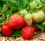 Strawberries growing Royalty Free Stock Photos