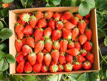 Strawberries growing on the vine Stock Photos