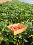 Strawberries growing on the vine Royalty Free Stock Images