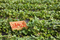 Strawberries growing on the vine Royalty Free Stock Photography