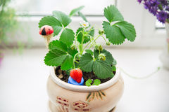 Strawberries growing on the windowsill. Ripe strawberry growing in the flowerpot on the windowsill Stock Photo