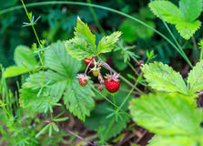 Strawberries growing in the woods. Focus on foreground Royalty Free Stock Photos