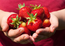 Strawberries in hands. Beautiful, fresh strawberries in the hands of the grower Royalty Free Stock Images