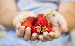 Strawberries in the hands of the boy, handful of berry.  royalty free stock image