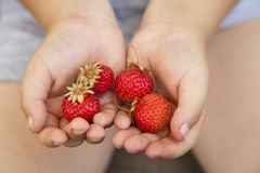 Strawberries in the hands of the boy, handful of berry.  royalty free stock photos