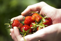 Strawberries in hands 2. Close up of red strawberries in hands Stock Photo