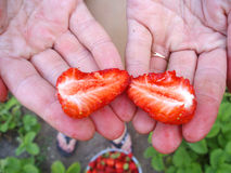 Strawberries in the hands of the dacha. Strawberry season Royalty Free Stock Image