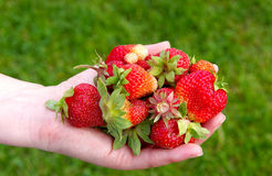 Strawberries in hands Stock Images