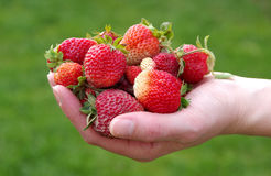 Strawberries in hands Stock Photography