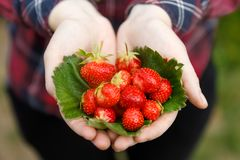 Strawberries in hands royalty free stock image