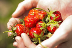 Strawberries in hands 3 Royalty Free Stock Images