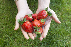 Strawberries in the hands. Of a woman on a green background Stock Image