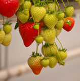 Strawberries hanging in a Dutch greenhouse Stock Photos