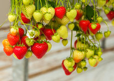 Strawberries hanging in a Dutch greenhouse Royalty Free Stock Image