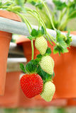 Strawberries hanging from strawberry plant Stock Photos