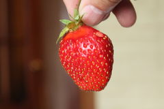Strawberries during harvest hanging on the branches. stock photography