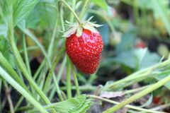 Strawberries during harvest hanging on the branches. royalty free stock photo