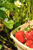 Strawberries harvested Stock Image