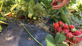 Strawberries stock video