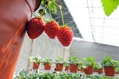 Strawberries hothouse. The internal scenery of strawberries hothouse stock images