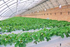 Strawberries hothouse. The internal scenery of strawberries hothouse stock photos