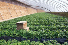 Strawberries hothouse Royalty Free Stock Image