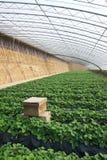 Strawberries hothouse Stock Photo