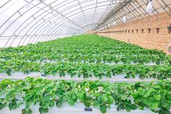 Strawberries hothouse. The scenery of strawberries hothouse royalty free stock image