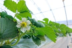Strawberries hothouse. The scenery of strawberries hothouse stock photos