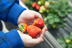 Strawberries in kid's hands Royalty Free Stock Photo