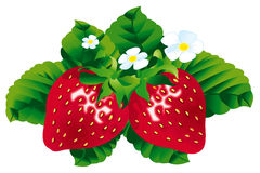 Strawberries with leafs. On white background Stock Photos