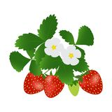 Strawberries with leaves and flowers. Strawberries with leaves and flowers isolated on white background. Vector illustration vector illustration