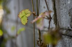 Strawberries leaves on the grey stone background.  Royalty Free Stock Photography