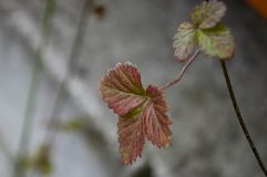 Strawberries leaves on the grey stone background.  Royalty Free Stock Photos