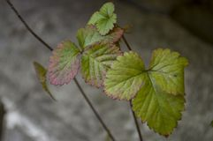 Strawberries leaves on the grey stone background.  Royalty Free Stock Image