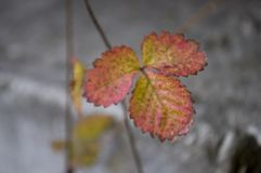 Strawberries leaves of red and yellow color on the grey background.  Royalty Free Stock Images