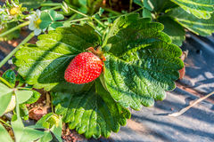 Strawberries of Mahabaleshwar, India. Royalty Free Stock Photo