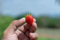 Strawberries on men`s hands, food concepts and fruits. Or make a. Background Stock Images